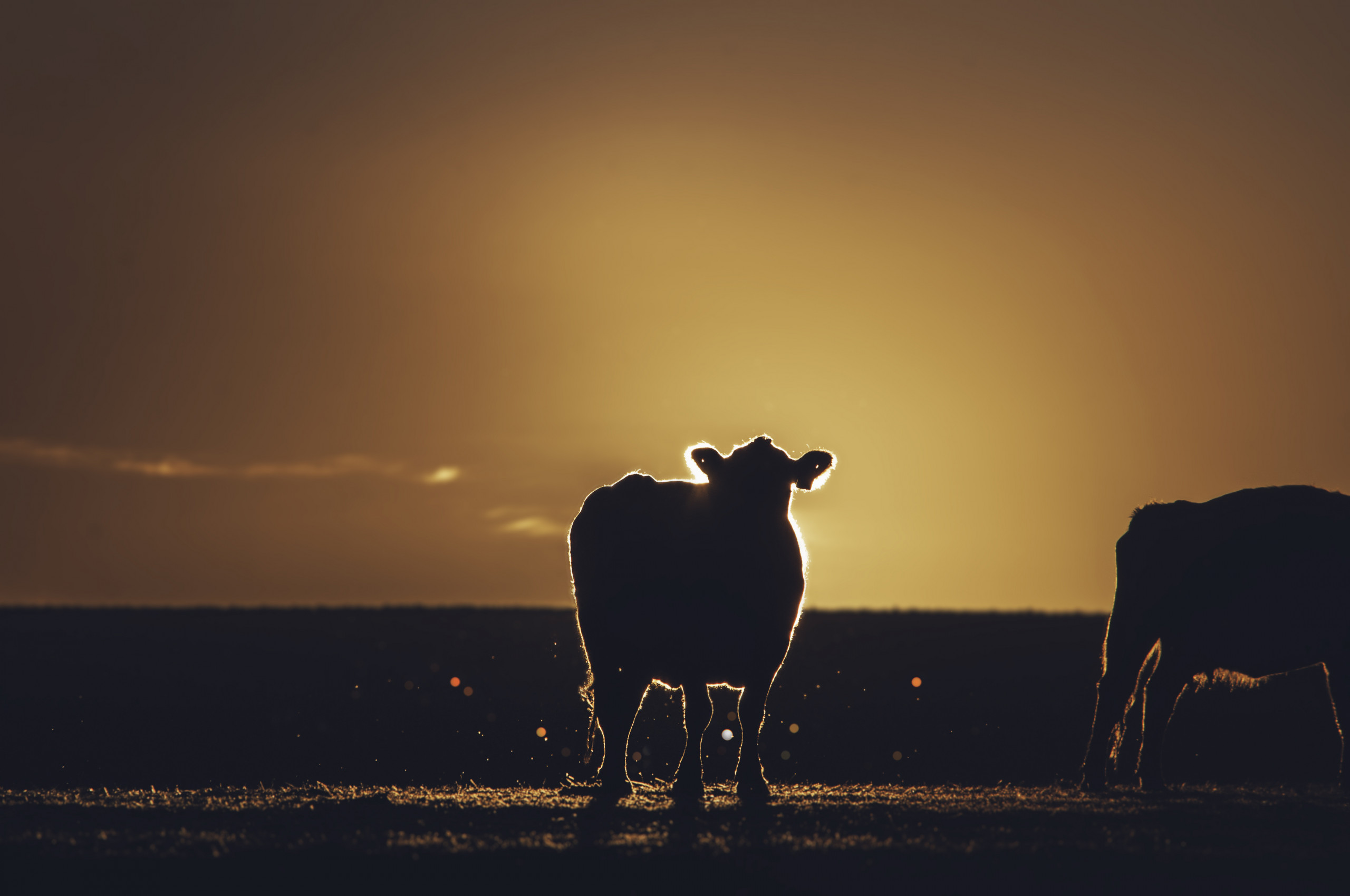 Delicious USA 2021 Sustainable Farming USA: Beef Edition